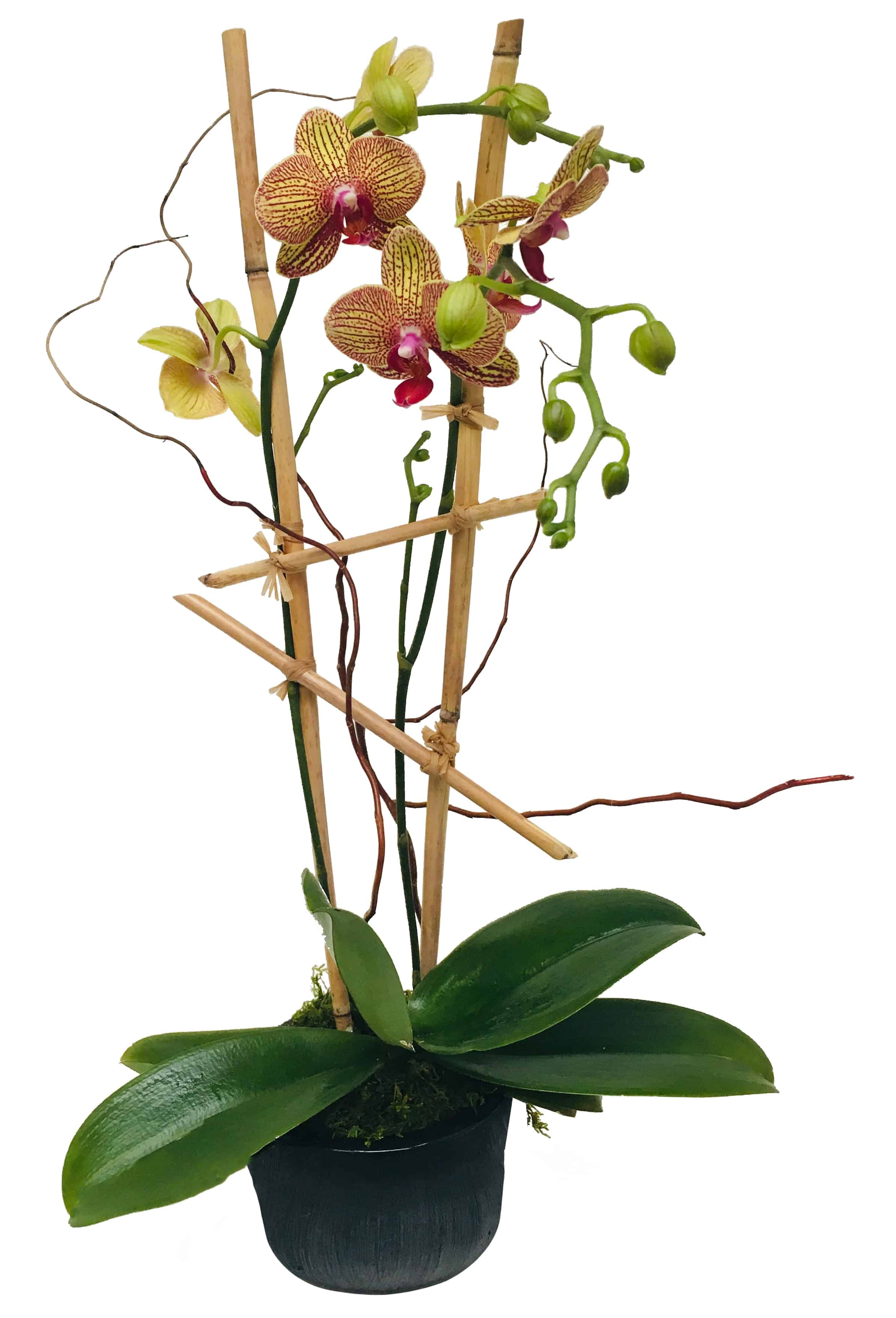 Double Stem Phalaenopsis Orchid Plant | San Francisco Florist Since 1871 Free Bay Area and San Francisco Flower Delivery