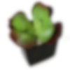 Tusco Verde Succulent Plant